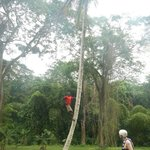 Another tour guide climbing a coconut tree