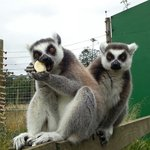 Lemurs sweet and on hand :)