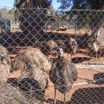 Emus aplenty
