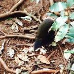 Kangaroo musky rat. The oldest and smallest kangaroo