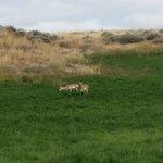 Prong horn deer