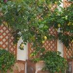 Pino's Lemons