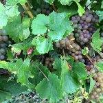 Ripening grapes nearby.