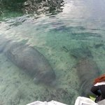 manatees coming to say hello