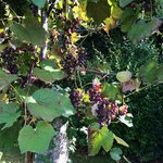 Grapes while exploring grounds