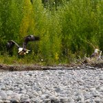 Snake River - Bald Eagle with his catch