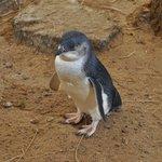 Fairy penguin - 2
