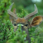A young Nyala in hiding