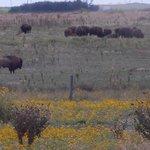 Part of the Bison herd off hwy 2