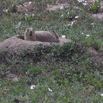 prairie dogs surrounding refuge