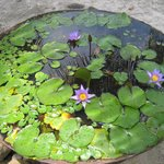 beautiful water lilies