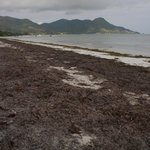 Tonnenweise Seegrass am Strand