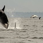 Orca breaching and Porpoise jumps to avoid capture