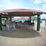 Female donkeys in the maternity area under sun protection