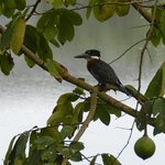 Giant Kingfisher in Monodora Tree