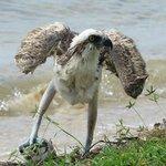 An osprey with a lucky catch