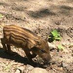 Frischling im Wildpark Alte Fasanerie