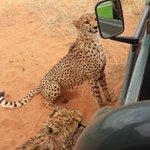 Geopardenfütterung
