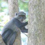 Young Colobus Monkey (they frequent the grounds)