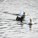 3羽で仲良く泳いでいて微笑ましかったです