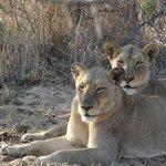 Lions were just a few feet away...
