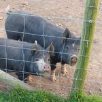 Oink oink!!