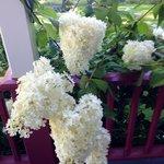 Hydrangeas by the veranda