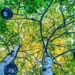 Romantic Lanterns in the aspen trees