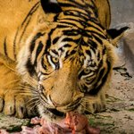 Lunch time for the Tiger