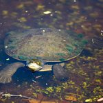 Local wildlife - turtle