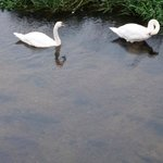 Home from home - a swan family
