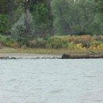 Bald Eagle along the Riverbank!