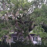 Large tree and dangling spanish moss in rear of hotel.