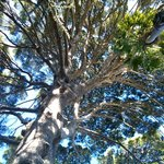 The grand Aleppo Pine