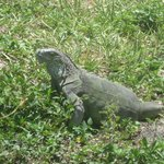 Iguana on the pet walk on Sigsbee near Navy Lodge