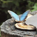 A beautiful butterfly feeding on a banana