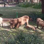 Wart hogs in camp