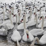 Swans waiting for food.