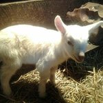 new goat baby from March 2014