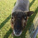 One eared sheep
