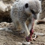 Meercat having lunch