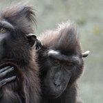 macaques having a hug