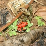 red froggie