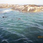 Brown fur seals at Seal island