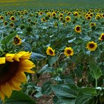 Local sunflowers fields