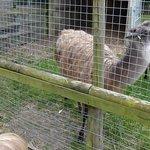 Llamas or Alpacas