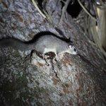 Le loir, petit mammifère nocturne près de la Cigaline