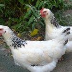les petites poules dans le potager