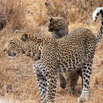 Leopard with cubs