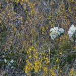 Kowhai and Clemitis in bloom
